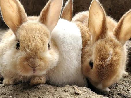 カイウサギの里親募集について