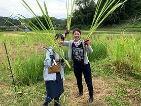 マコモ収穫の写真1.jpg