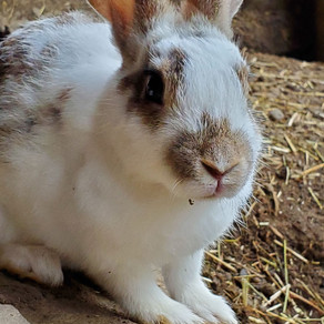 カイウサギの譲渡会の日程を追加します。