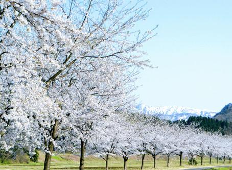 桜も満喫!親子で楽しむ胎内リゾートドライブコース