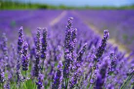 Reduce Stress and Anxiety with Lavender Essential Oil