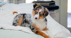 Dunbroke Toy Aussies and Pembroke Welsh Corgis - Priceville, Ontario - Dog Breeder - Toy Aussie