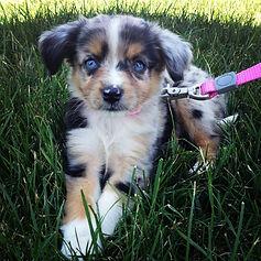 Dunbroke Toy Aussies and Pembroke Welsh Corgis - Priceville, Ontario - Dog Breeder - Toy Aussie Puppy