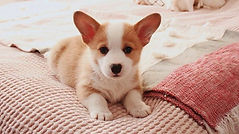 Dunbroke Toy Aussies and Pembroke Welsh Corgis - Priceville, Ontario - Dog Breeder - Corgi Puppy