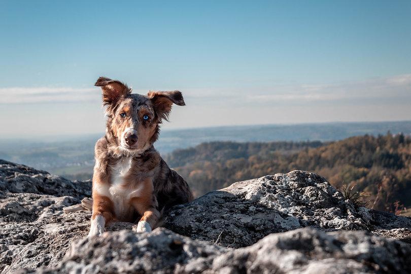 Dunbroke Toy Aussies and Pembroke Welsh Corgis - Priceville, Ontario - Dog Breeder Ontario - Sara Kurfess Unsplash