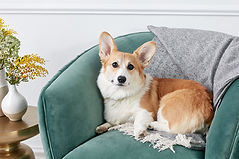 Dunbroke Toy Aussies and Pembroke Welsh Corgis - Priceville, Ontario - Dog Breeder - Corgi