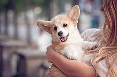 Dunbroke Toy Aussies and Pembroke Welsh Corgis - Priceville, Ontario - Dog Breeder - Corgi Puppy