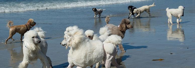 Poodle Day in Carmel