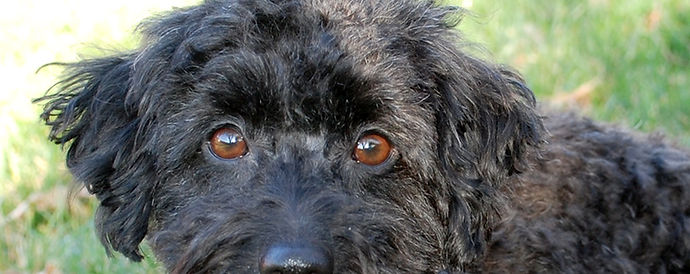 NorCal Poodle Rescue Adoption Interest Form