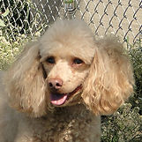 Photo of Frakie the Poodle's Head