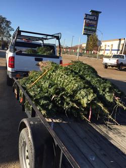 Giving away Christmas Trees