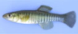 Killfish1.png