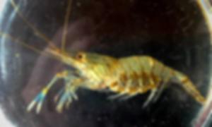 Grass Shrimp.png