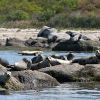 Herd of Seals on Rocks