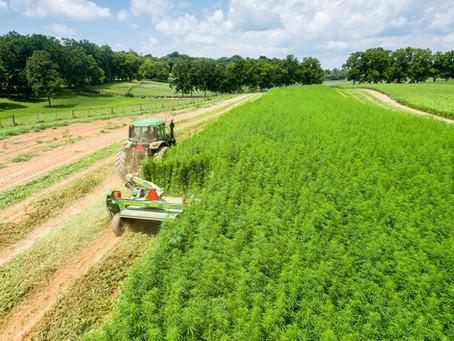Como a indústria do cânhamo poderia ajudar o semi-árido brasileiro?