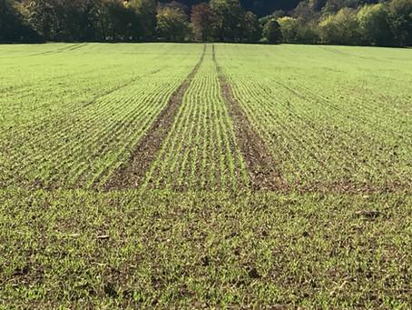 Weizen 2019 steht in Reihen