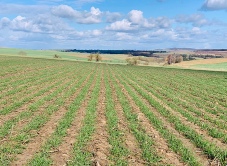 Weizen Anfang März Claydon Hybrid