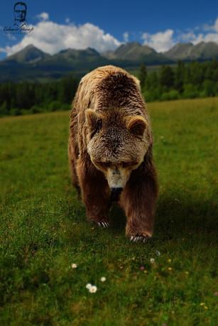 Medveď hnedý