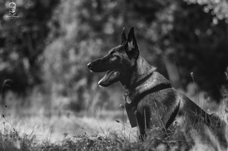Bruno - Belgický ovčiak