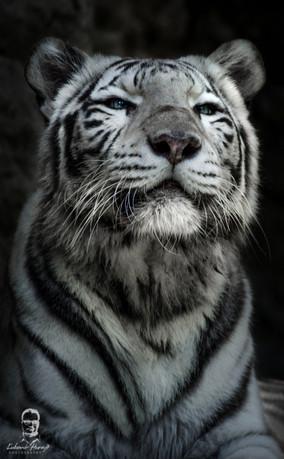 Tiger džungľový