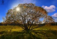 Strom - Važecké lúky