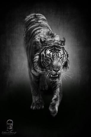Tiger 2018