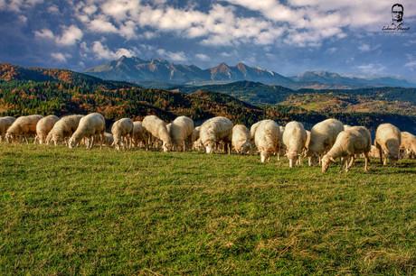 Ranná pastva - Lesnícke sedlo - Spišská Magura