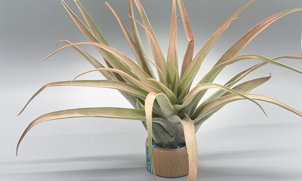 Extra Large Tillandsia Peach in a tequila cap