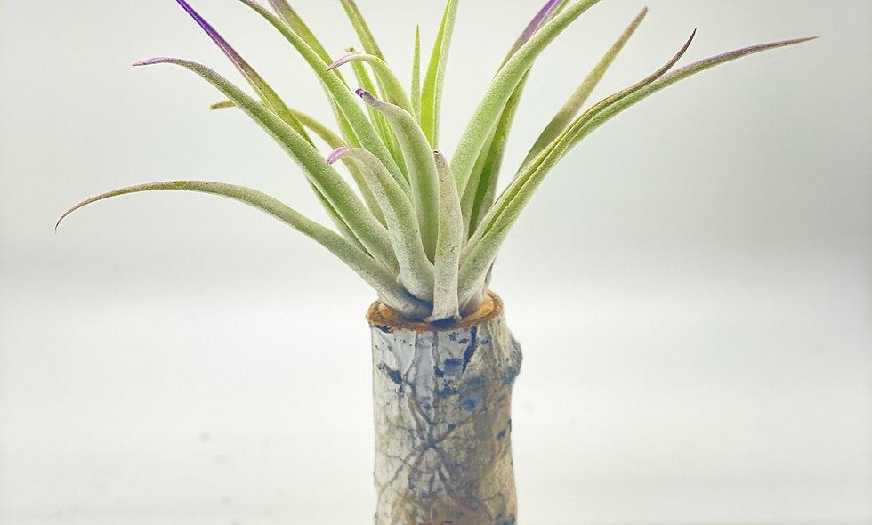 Large Purple Tipped Tillandsia Branch Pillar