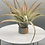Thumbnail: Extra Large Tillandsia Peach in a tequila cap
