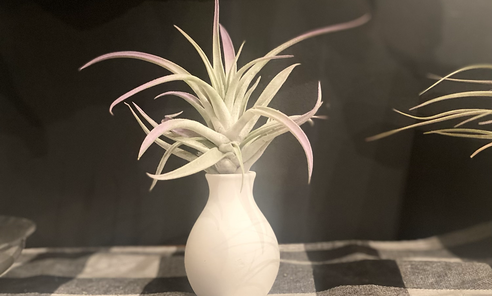 """The purple tipped tillandsia """"no water vase"""""""