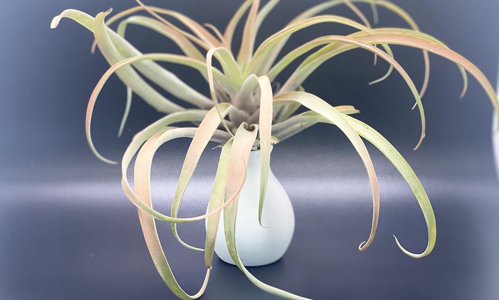 """XL Peach tillandsia in a """"no water"""" vase"""