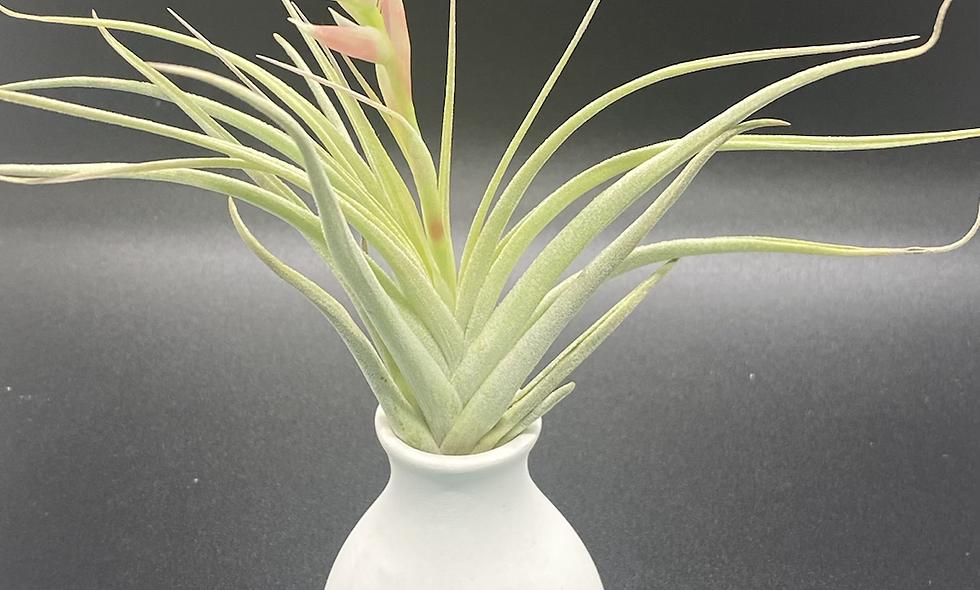 """Blooming AP in  """"no water vase"""""""