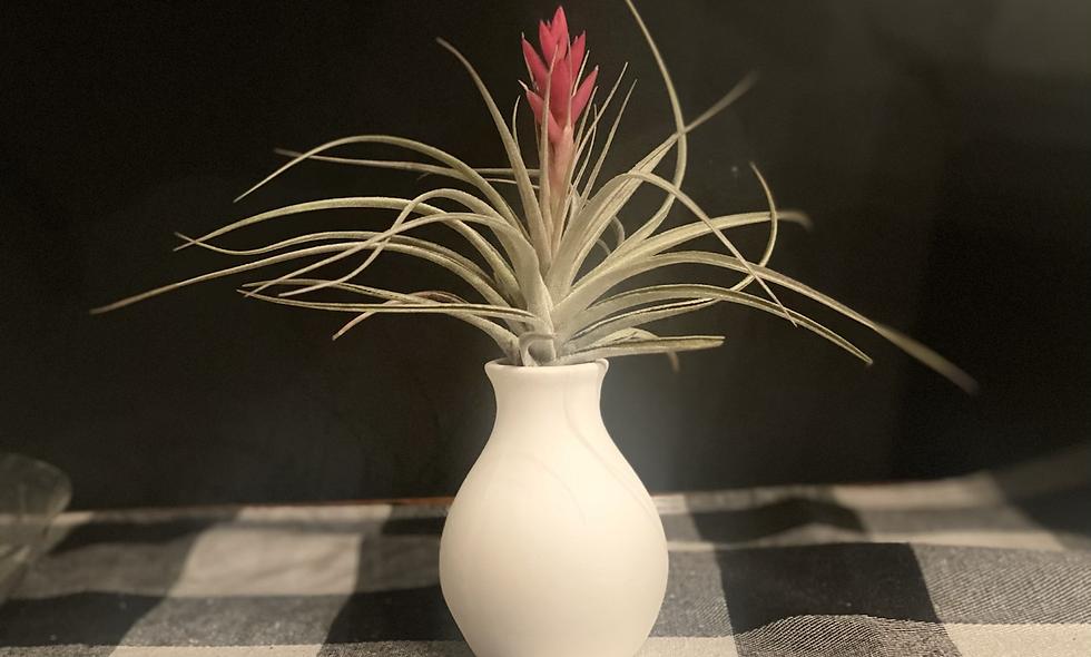 "Blooming air plant w ""no water vase"""
