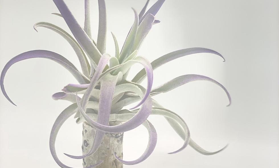 Purple, Living Branch Pillar