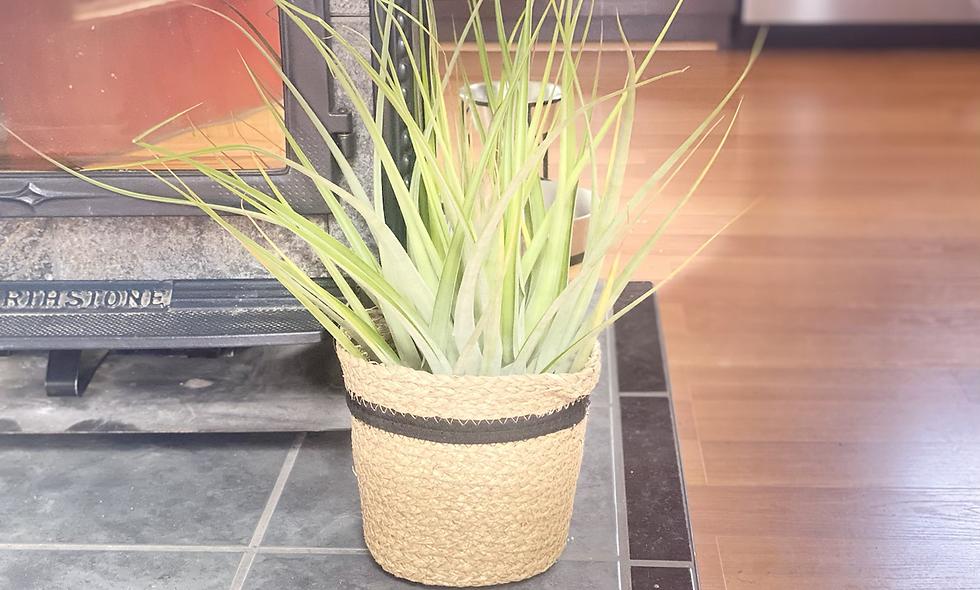 XL Fresh Blooming air plant & Basket