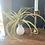 "Thumbnail: XL Peach tillandsia in a ""no water"" vase"