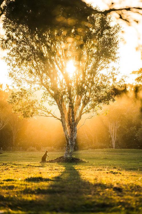 Wallaby Tree
