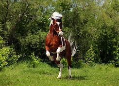 rearing_pony_sprin_vimedhast.jpg