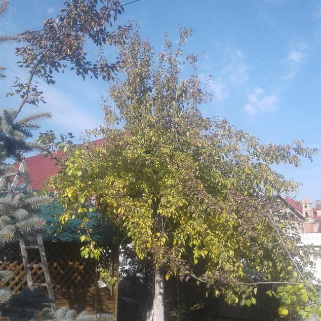 Дерево перед обрезкой