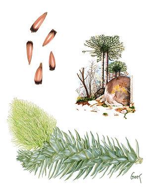 Iustración de María José Herrada, Piña de Pino
