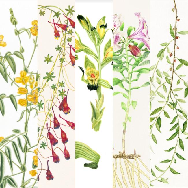 Seleccionados para la exposición CINC - ASBA de ilustración de Flora Nativa