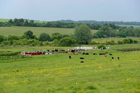 cattle-grazing-by-marsh-lock-hungerford-