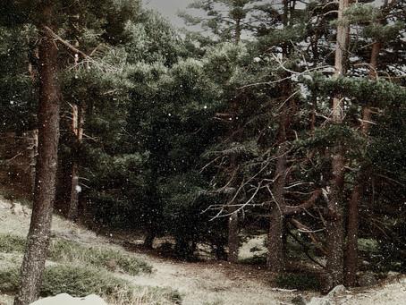 Padurea Intunecata de pini. INVERNALIA