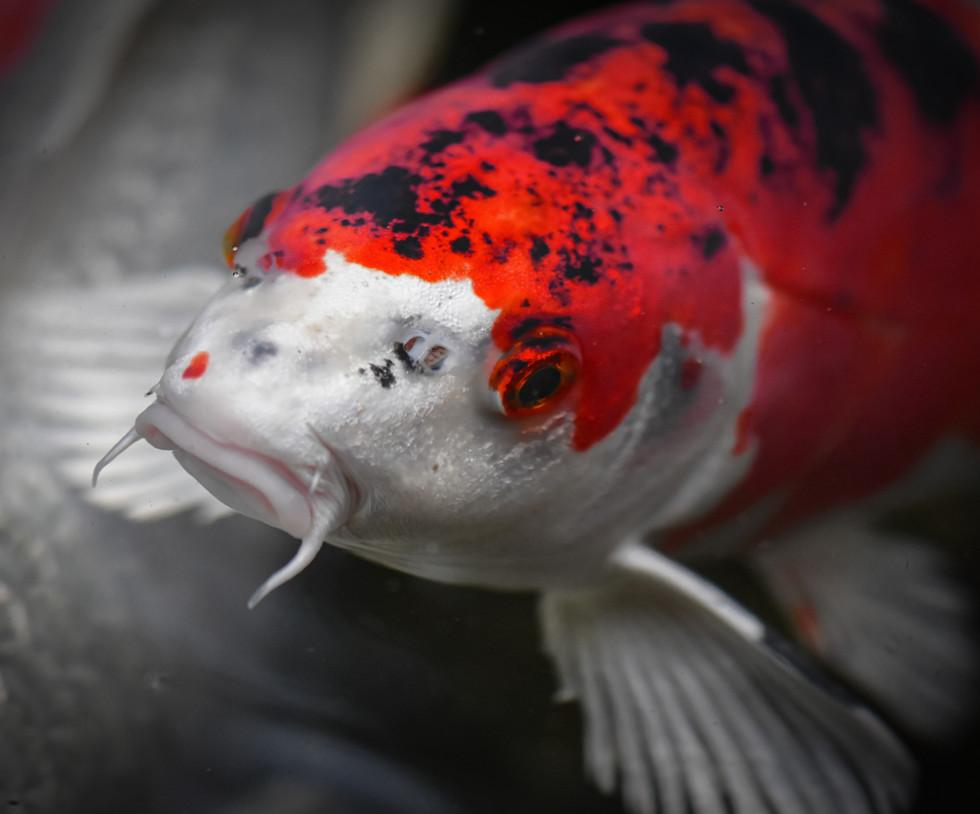 koi-Tierarzt-Fische.jpg