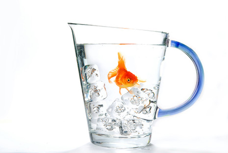 goldfish on the rocks