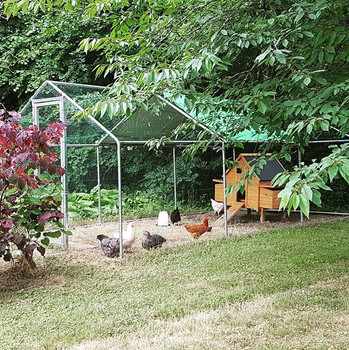 The hens have settled in well