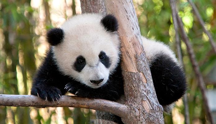 Pandojen pitäminen vankeudessa ei ole niiden suojelua