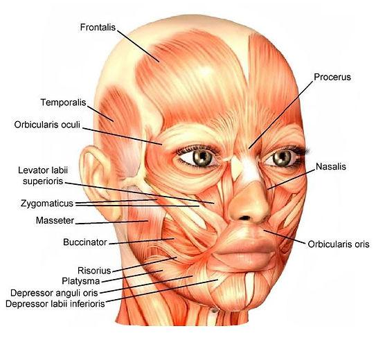 Muscles du visage.jpg