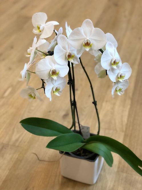 Hvid orkidee med potte